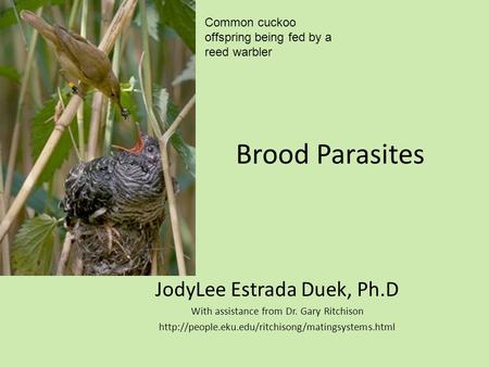 Brood Parasites JodyLee Estrada Duek, Ph.D With assistance from Dr. Gary Ritchison  Common cuckoo offspring.