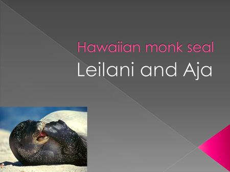  Hawaiian monk seal are only found in the Hawaiian Island.  Hawaiian monk seal can be 7 feet [males] up to 7.5 [females].  They have strong bodies.