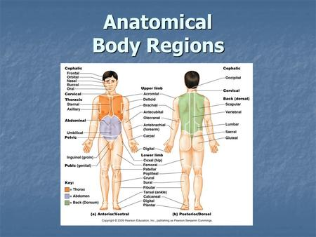 Anatomical Body Regions
