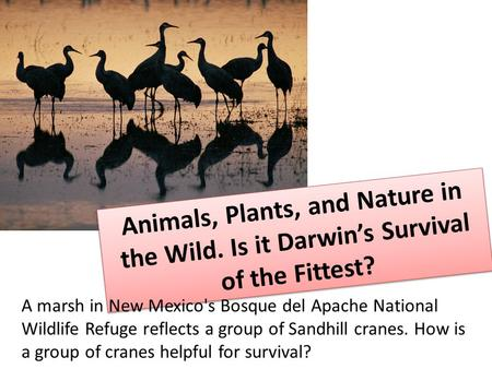 Animals, Plants, and Nature in the Wild. Is it Darwin's Survival of the Fittest? A marsh in New Mexico's Bosque del Apache National Wildlife Refuge reflects.