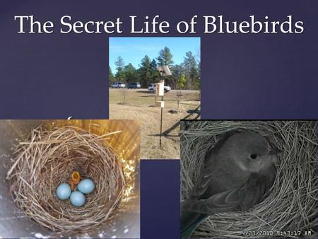 { The Secret Life of Bluebirds. Different birds build different kinds of nests Some are BIG. The bald eagle's nest can be more than 6 feet across- big.