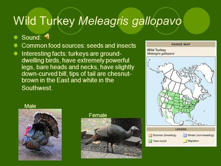 Wild Turkey Meleagris gallopavo Sound: Common food sources: seeds and insects Interesting facts: turkeys are ground- dwelling birds, have extremely powerful.