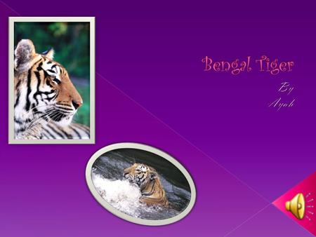  Tigers mostly feed on deer  Tigers are carnivores.