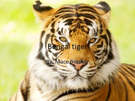 Bengal tiger By: Mace Brasher. Bengal tiger my animal is the The Bengal tiger is the most numerous tiger subspecies. Its populations have been estimated.