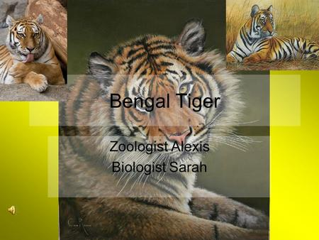 Bengal Tiger Zoologist Alexis Biologist Sarah Describe a Bengal Tiger Different pattern of stripes Dark stripes on orange and white fur Long tails, big.