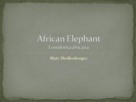Matt Shollenberger. African elephants are the largest land animals on Earth. They eat roots, grasses, fruit, and bark. An adult can consume 300 pounds.