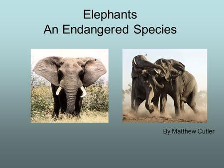 Elephants An Endangered Species By Matthew Cutler.
