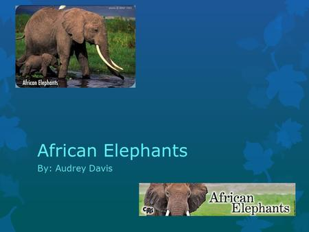 By: Audrey Davis African Elephants. Characteristics Of African Elephants  The weight of an African elephant is 4,000-7,000 pounds. African elephants.
