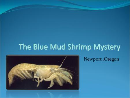 The Blue Mud Shrimp Mystery Newport,Oregon. Upogebia pugettensis Blue Mud Shrimp A native species that lives in the mud flats of estuaries in the Pacific.