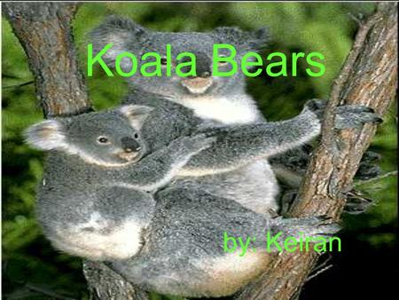 Koala Bears by: Keiran Lives The koala bear lives in Australia in places where there are lots of trees.