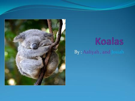 By : Aaliyah, and Josiah. Speech This presotaison is all about koalas. We hope you like it. And enjoy it.