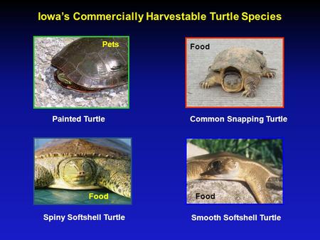 Iowa's Commercially Harvestable Turtle Species Painted TurtleCommon Snapping Turtle Spiny Softshell Turtle Smooth Softshell Turtle Food Pets.