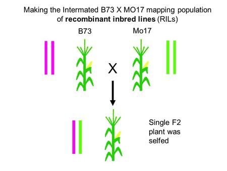 Making the Intermated B73 X MO17 mapping population of recombinant inbred lines (RILs) X B73 Mo17 Single F2 plant was selfed.