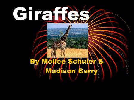 Giraffes By Mollee Schuler & Madison Barry. Habitat Most giraffes live in savannas and grasslands in Africa. pokershrink.blogspot.com.