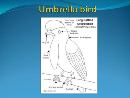 Umbrella bird The umbrella bird is found in Central and South American rainforests The umbrella bird is found in Central and South American rainforests.