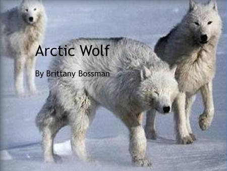 Arctic Wolf By Brittany Bossman. Classifacation Kingdom-Animilia Phylum-Chordata Order-Cornivora Family-Canidae Genus-Canis Speices-lupus Subspeices-hudsonius.