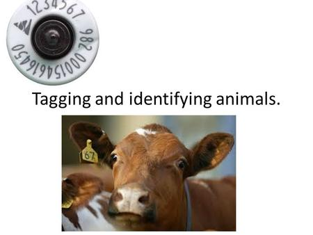 Tagging and identifying animals.. Why are animals tagged? Branding, tagging, chipping etc. has been a part of farming practice for a long time. Firstly.