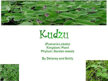 KudzuKudzu (Pueraria Lobata) Kingdom: Plant Phylum: Garden weeds By Delaney and Emily.