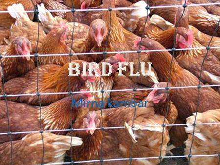 Bird Flu Mirna kambar. where they came from ? They came from Hong Kong in 1997.