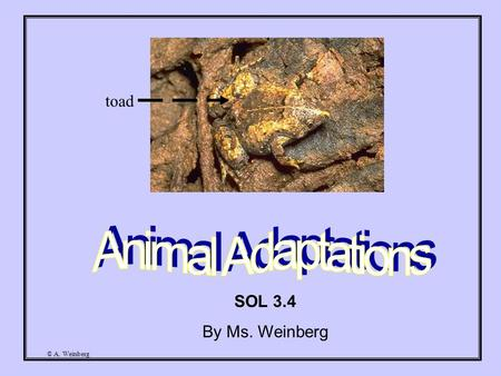 © A. Weinberg SOL 3.4 By Ms. Weinberg toad © A. Weinberg Have you ever wondered how animals are able to survive in the wild? Animals have certain adaptations.