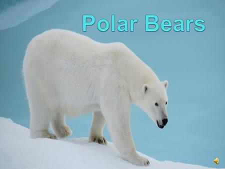 Habitat A polar bear is a large, carnivorous land mammal that lives natively in the arctic circle. They can be found in places such as Russia, Alaska,