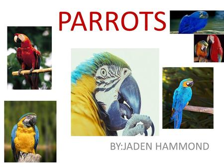 PARROTS BY:JADEN HAMMOND. Parrots DEFENSES PARROTS have wings and tail feathers. They can camouflage themselves with their colors. Their enemies are people,