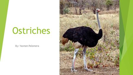 Ostriches By: Yasmen Palomera Physical Characteristics Weight: 320lbs Height: 9 feet or 2.7 meters Feather colors: The males are black and white but.