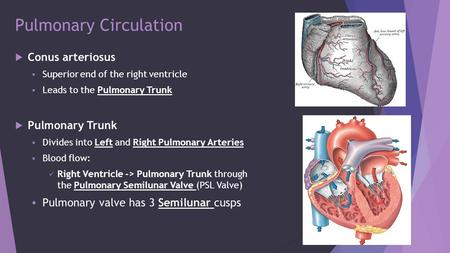 Pulmonary Circulation  Conus arteriosus  Superior end of the right ventricle  Leads to the Pulmonary Trunk  Pulmonary Trunk  Divides into Left and.