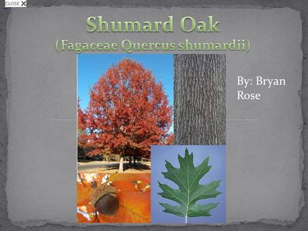 Shumard Oak By: Bryan Rose. One of the largest red oaks known today (100-125 ft. in height, 4- 5 ft. DBH) It has clear symmetrical bowl with an open and.