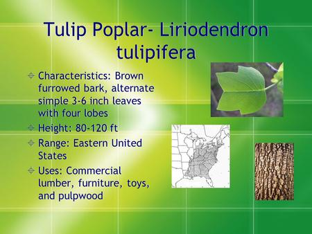 Tulip Poplar- Liriodendron tulipifera  Characteristics: Brown furrowed bark, alternate simple 3-6 inch leaves with four lobes  Height: 80-120 ft  Range: