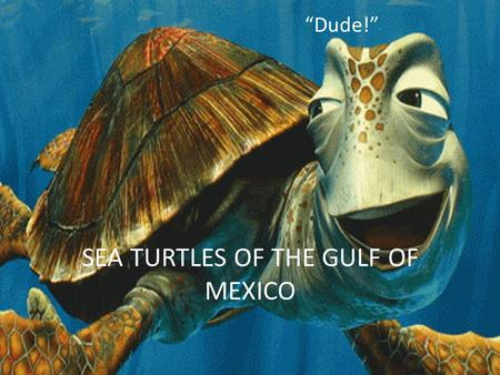 "SEA TURTLES OF THE GULF OF MEXICO ""Dude!"". 5 Species of the Gulf of Mexico Loggerhead Kemp's Ridley Green Hawksbill Leatherback."