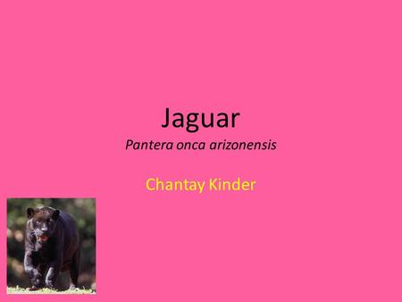 Jaguar Pantera onca arizonensis Chantay Kinder. Natural habitat South &North America Wetlands River lakes.