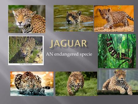 JAGUAR AN endangered specie.