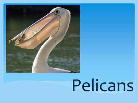 Pelicans. Pelicans are large birds and belong to a group of birds called waterbirds. They can be found on coastal and inland waterways. There are more.