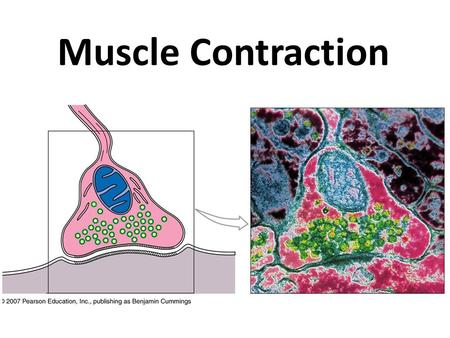Muscle Contraction. Muscle Movement Muscle fiber must be stimulated: – By an electrical signal called muscle action potential (AP) – Delivered by motor.