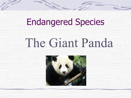 Endangered Species The Giant Panda.