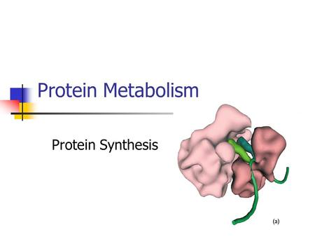 Protein Metabolism Protein Synthesis.