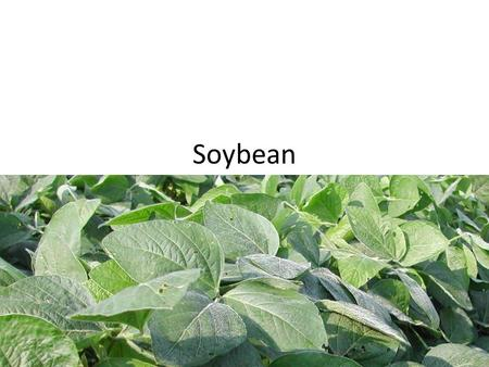 Soybean. Soybean Growth Stages Vegetative StagesReproductive Stages VE – emergenceR1 – beginning bloom VC – cotyledon (unrolled unifoliolate leaves) R2.