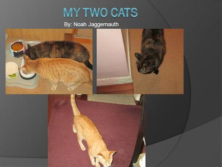 By: Noah Jaggernauth. Have you ever thought of how fun cats can be? They can be different colors and breeds. I decided to do my photo essay on my cats.