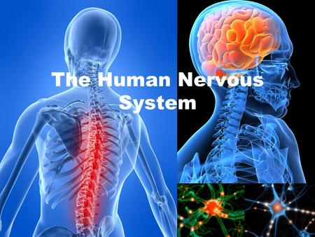 The Human Nervous System. It includes Central Nervous System and the Peripheral Nervous System. It acts as a highway for information to travel. It controls.