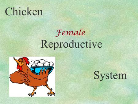 Chicken Reproductive System Female. Chicken Reproductive System.