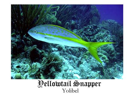 Yellowtail Snapper Yolibel. What do they eat? Younger yellowtail snappers' diet consist of plankton, staying around sea grasses until they grow larger.