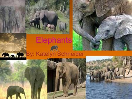 Elephants By: Katelyn Schneider. Family An elephant family is ruled by an older female (matriarch) and is made up of her female children and their young.