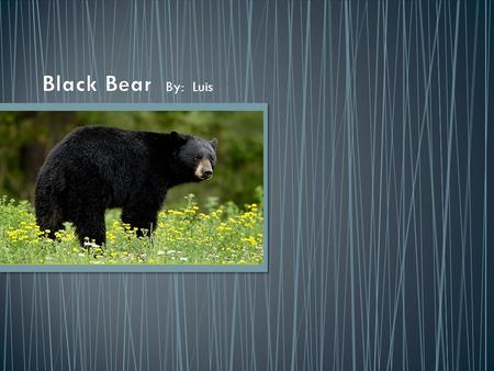 By: Luis. The American black bear is a medium-sized bear native of North America. Black bears are omnivores. Their diets depend on season and location.