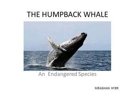 THE HUMPBACK WHALE An Endangered Species MEAGHAN HYER.