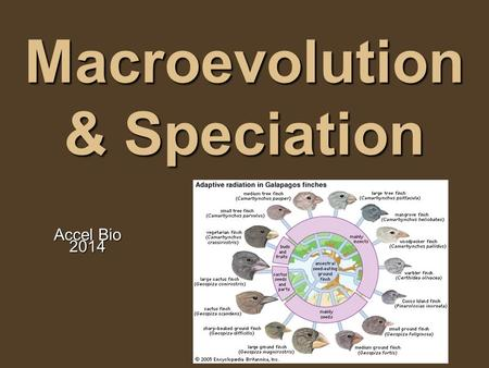 "Macroevolution & Speciation Accel Bio 2014. What is a species? Species means ""kind"" or ""type"" Older way of looking at this question: Morphological Species."
