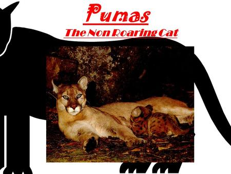 Pumas The Non Roaring Cat By: MF The puma lives from the high cold mountains to the low hot desert. but the place doesn't matter because it's the amazing.