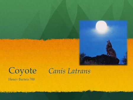 Coyote Canis Latrans Henry Bartels 700 What's a Coyote? The Coyote, or Canis Latrans, is a mammal native to North America, and the northern part of South.