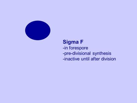 Sigma F -in forespore -pre-divisional synthesis -inactive until after division.