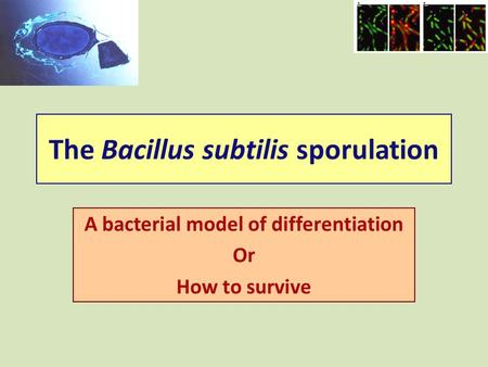 The Bacillus subtilis sporulation